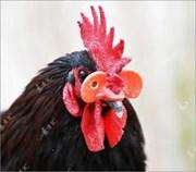 Chuyện lạ về gà trống mượn tai