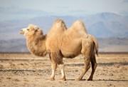 Vì sao lạc đà có bướu