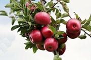 Bài học bình tĩnh từ một quả táo