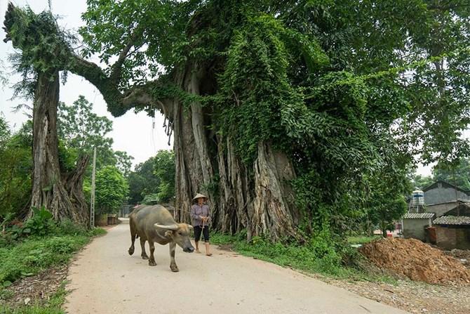"""""""Ông Tiến Vlog và cây đa làng Lường"""" (P2): Ứng xử của con người với thiên nhiên"""