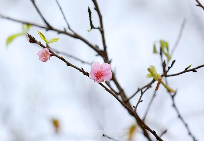 """""""Lời của mùa xuân"""": Biêng biếc cành yêu đương đơm nhụy"""
